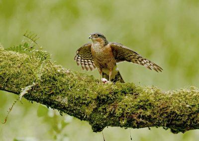 1440 sparrowhawk _I4X2668