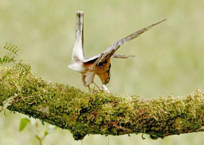 1440 sparrowhawk _I4X3557