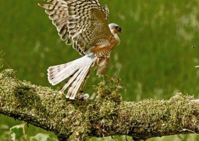 sparrowhawk _I4X6727