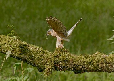 sparrowhawk _I4X6775