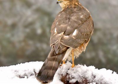 sparrowhawk _1463324