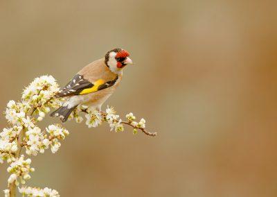 1200 goldfinch AF2T5767