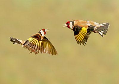 1200 goldfinch fighting P1050459