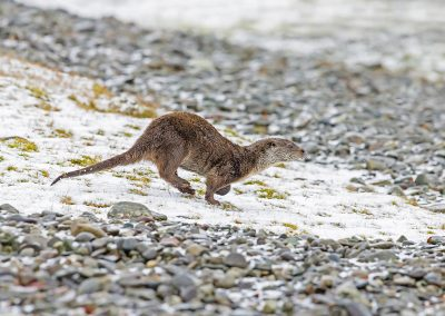 Eurasian Otter running down a stoney beach, Isle of Mull Scotlan