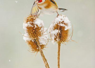 1200 winter goldfinch _F2T9920