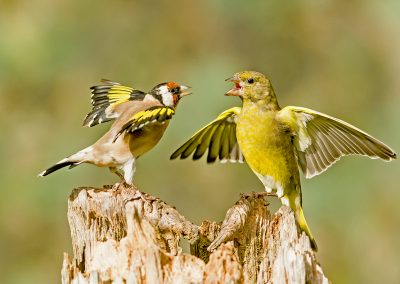 goldfinch and siskin AH4K5367
