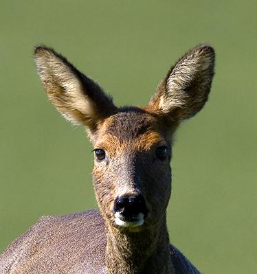 1200 cropped roe deer IMG_4629