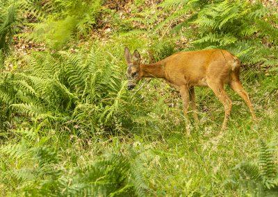 1200 roe deer AF2T9291
