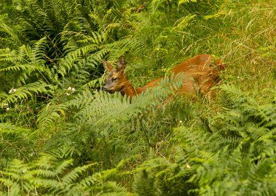 1200 roe deer AF2T9485