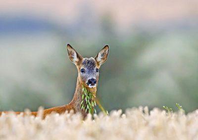 1200 roe deer doe IMG_9128