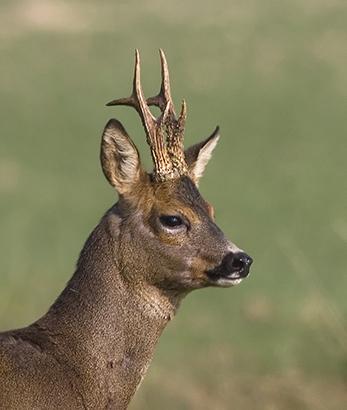 1200 roe deer head IMG_2361