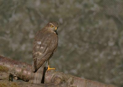 1200 sparrow hawk _1590106