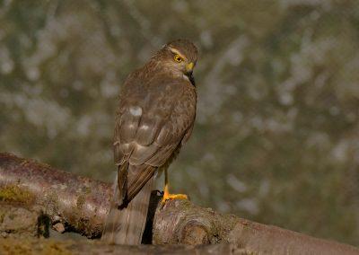 1200 sparrowhawk _1590105