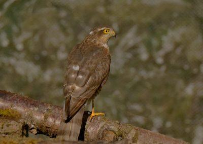 1200 sparrowhawk _1590112