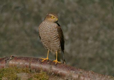 1200 sparrowhawk _1590135