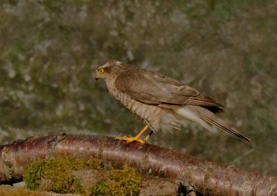1200 sparrowhawk _1590136