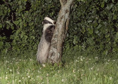 11200 badger tree _1705239