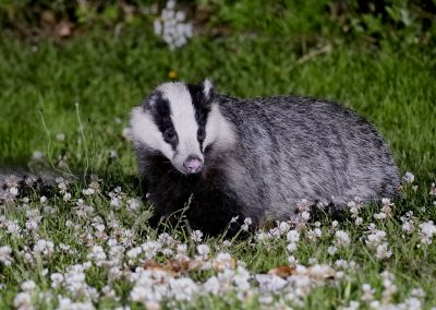 1200 badger Boris_1691730