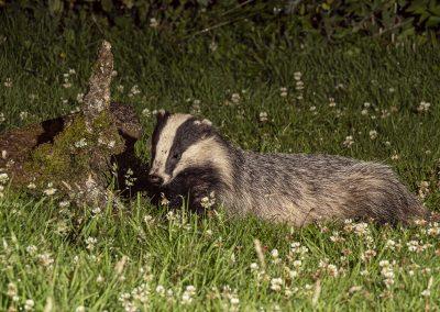 1200 badger _1705463