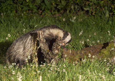 1200 badger _1705601