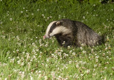 1200 badger boris _1705086