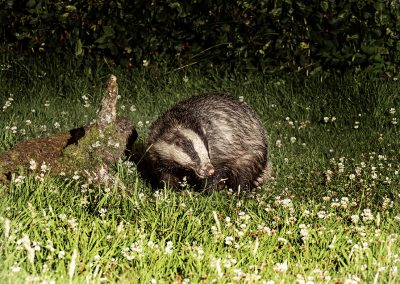 1200 badger boris _1705622