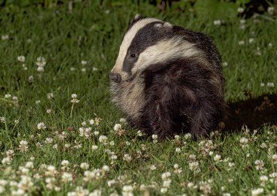 1200 badger cub _1705035