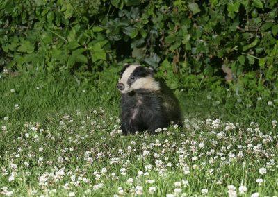 1200 badger cub_1704852