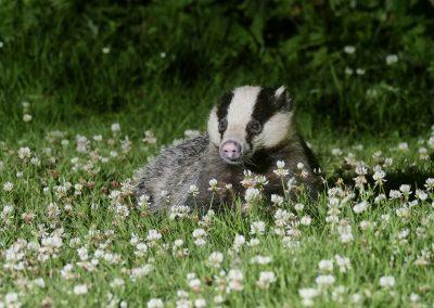 1200 badger oris _1704831