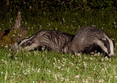 1200 badger pair _1705505