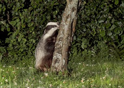 1200 badger tree _1705217