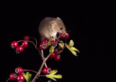 1200 harvest mouse _1710337