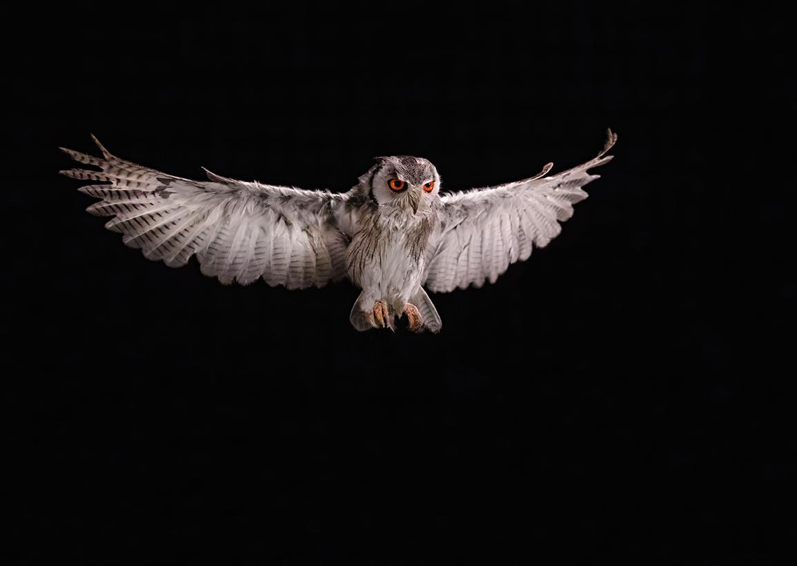 Scops Owl in flight
